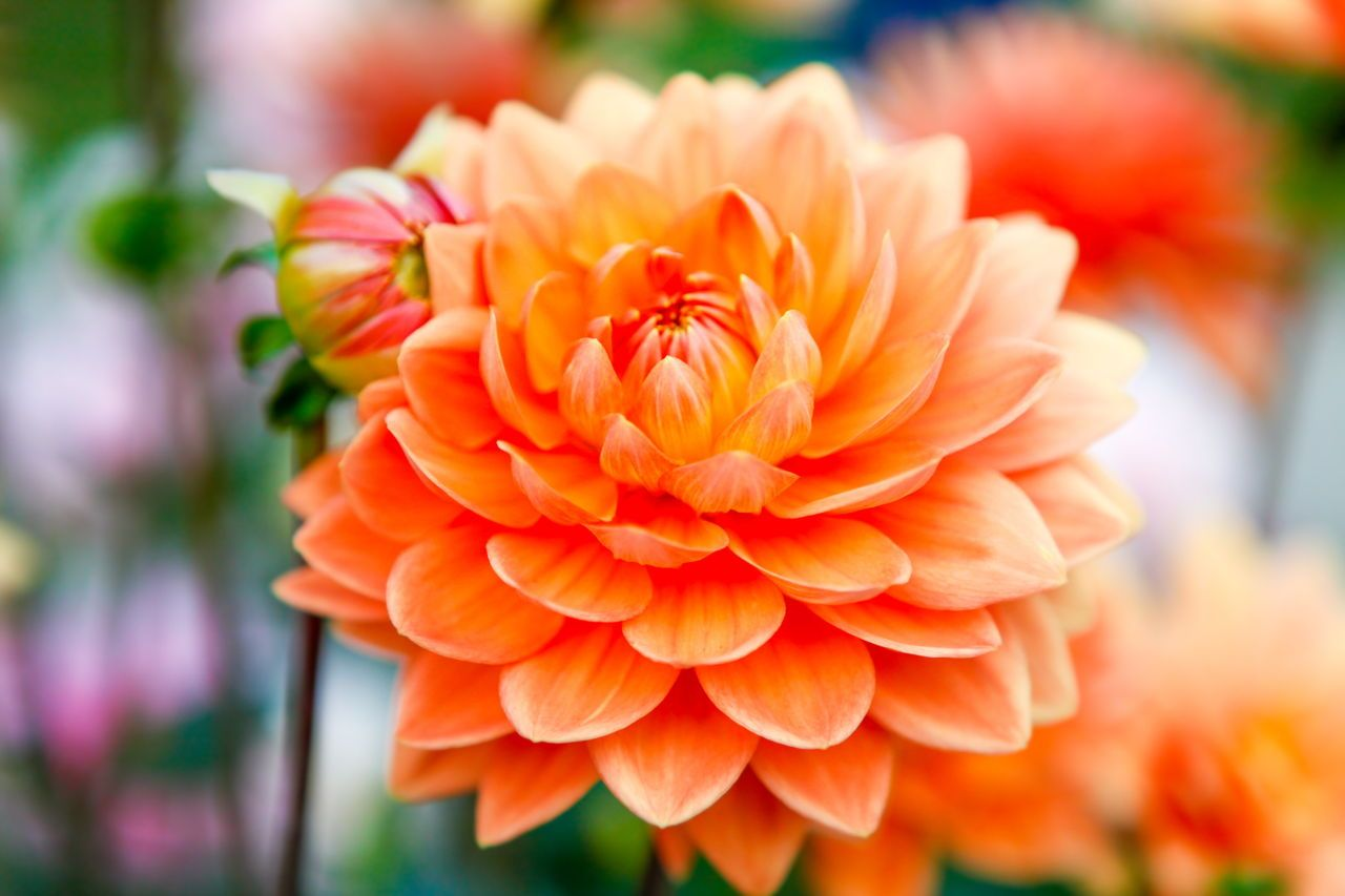 Dahlia Orange Flowers Amazing Flowers Flowers Flowers Delivered