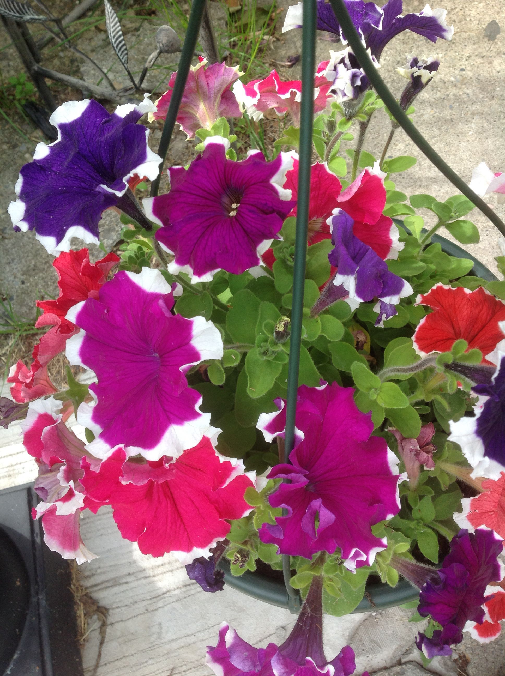 Rainbow Petunias Great For Hanging Basket Or Ground Cover In The