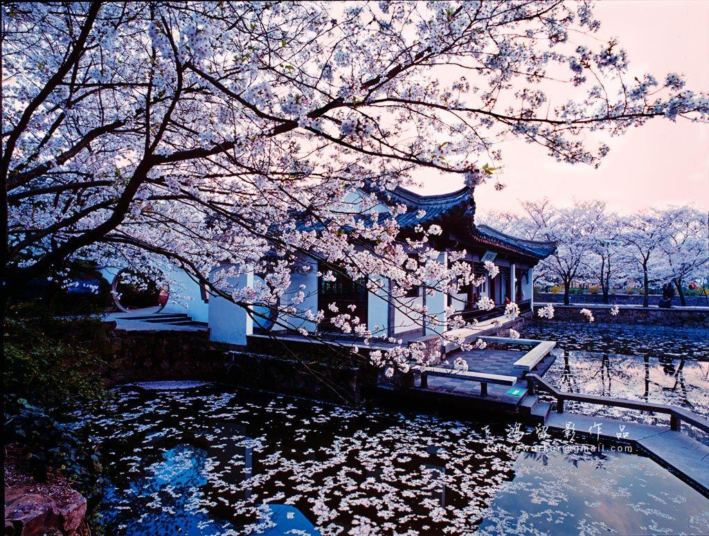 Cherry blossom by xiaozhong li