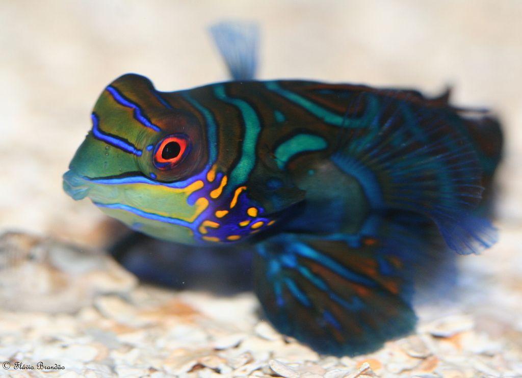 Macro do Mandarim (Synchiropus splendidus) - Mandarinfish or mandarin dragonet's macro - 15-08-2008 - IMG_20080815_9999_244