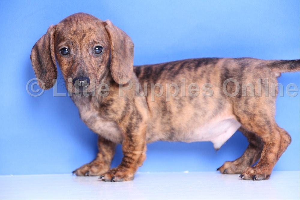 Red Brindle Smooth Puppy