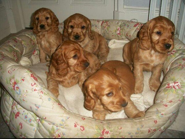 Beautiful Golden Cocker Spaniel Puppies For Sale In Stoke On Trent Cheshire English Cocker Spaniel Puppies Spaniel Puppies Golden Cocker Spaniel Puppies