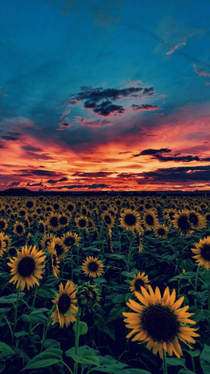 Iconsuckssstumblrcom Pedidos Requests Like Reblog In Sunflower