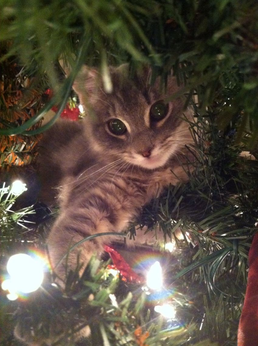 Gwennie in my first Christmas tree in my first apartment away from the fam.