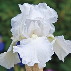 Immortality Iris - rebloomer
