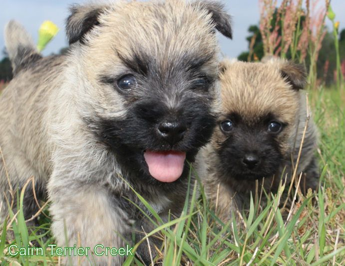 Two Of The First Pups Born At Cairn Terrier Creek 0 Cairn