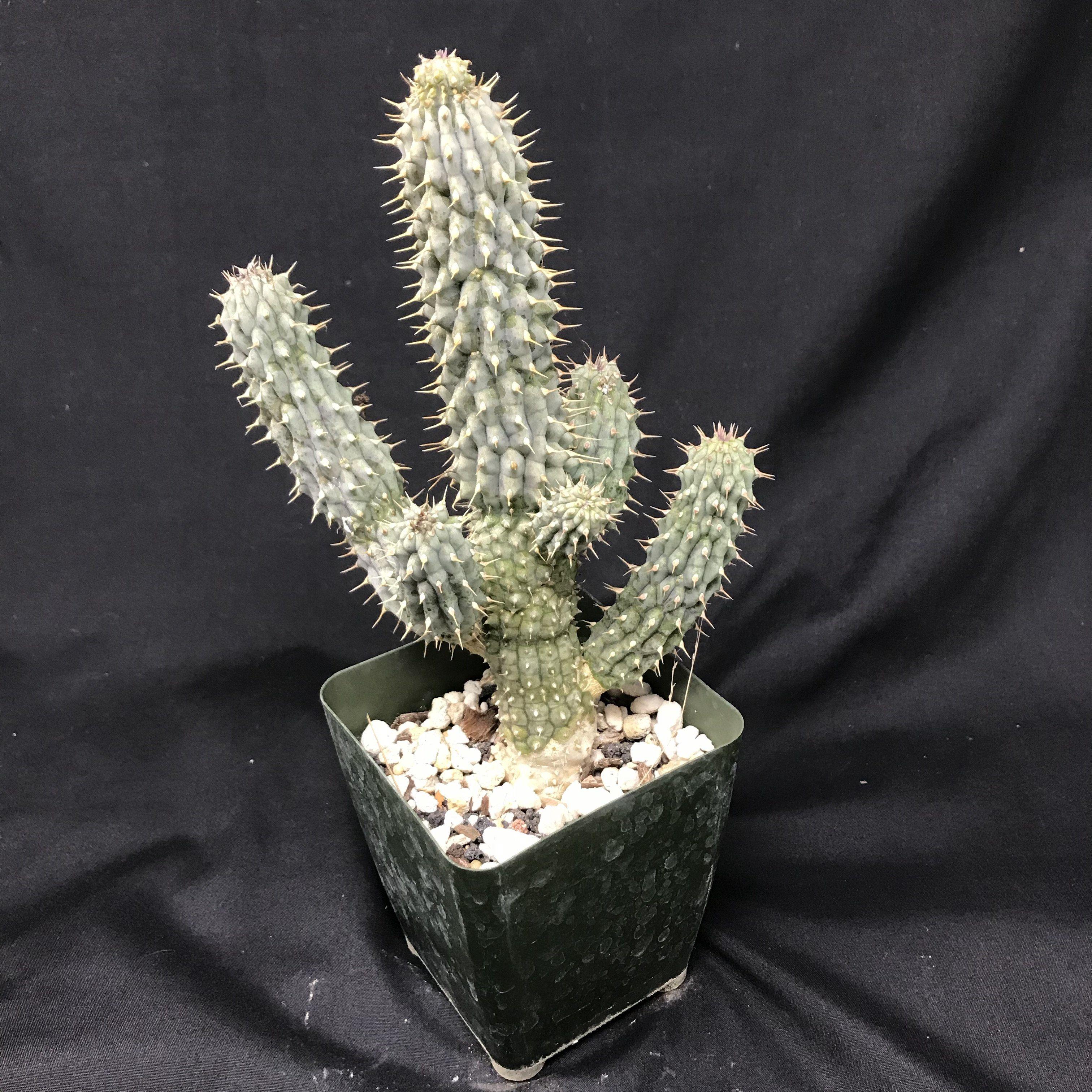 Hoodia Gordonii Cactus Hoodia Planting Succulents Cactus