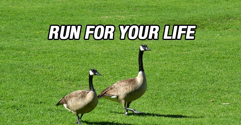 Image result for canada goose run for your life