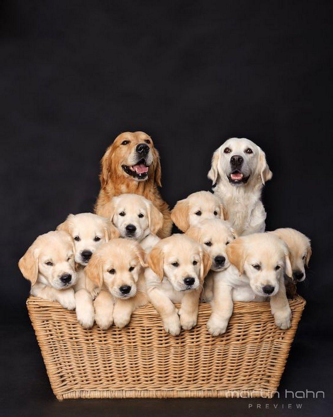 Family Of Golden Retrievers Puppies Golden Retriever Dogs