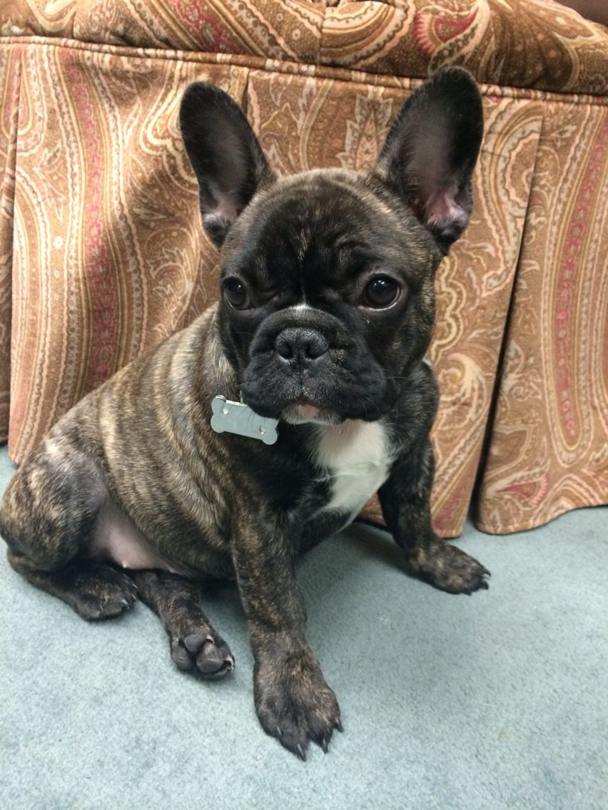 Coco The Frenchie French Bulldog Puppy Bulldog Puppies