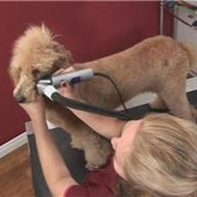 How To Groom Your Poodles Face With Images Poodle Dog Grooming