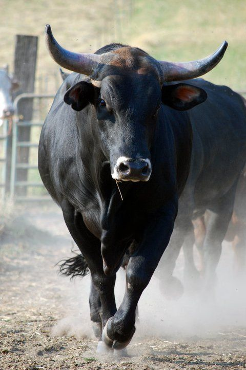 Pin de Michelle Martin Williams en Bulls | Pinterest | Toros, Viva ...