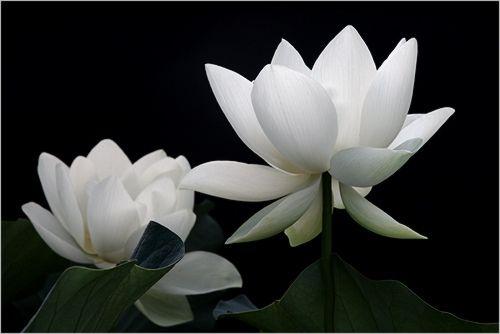 White Lotus Flower - IMG_1936