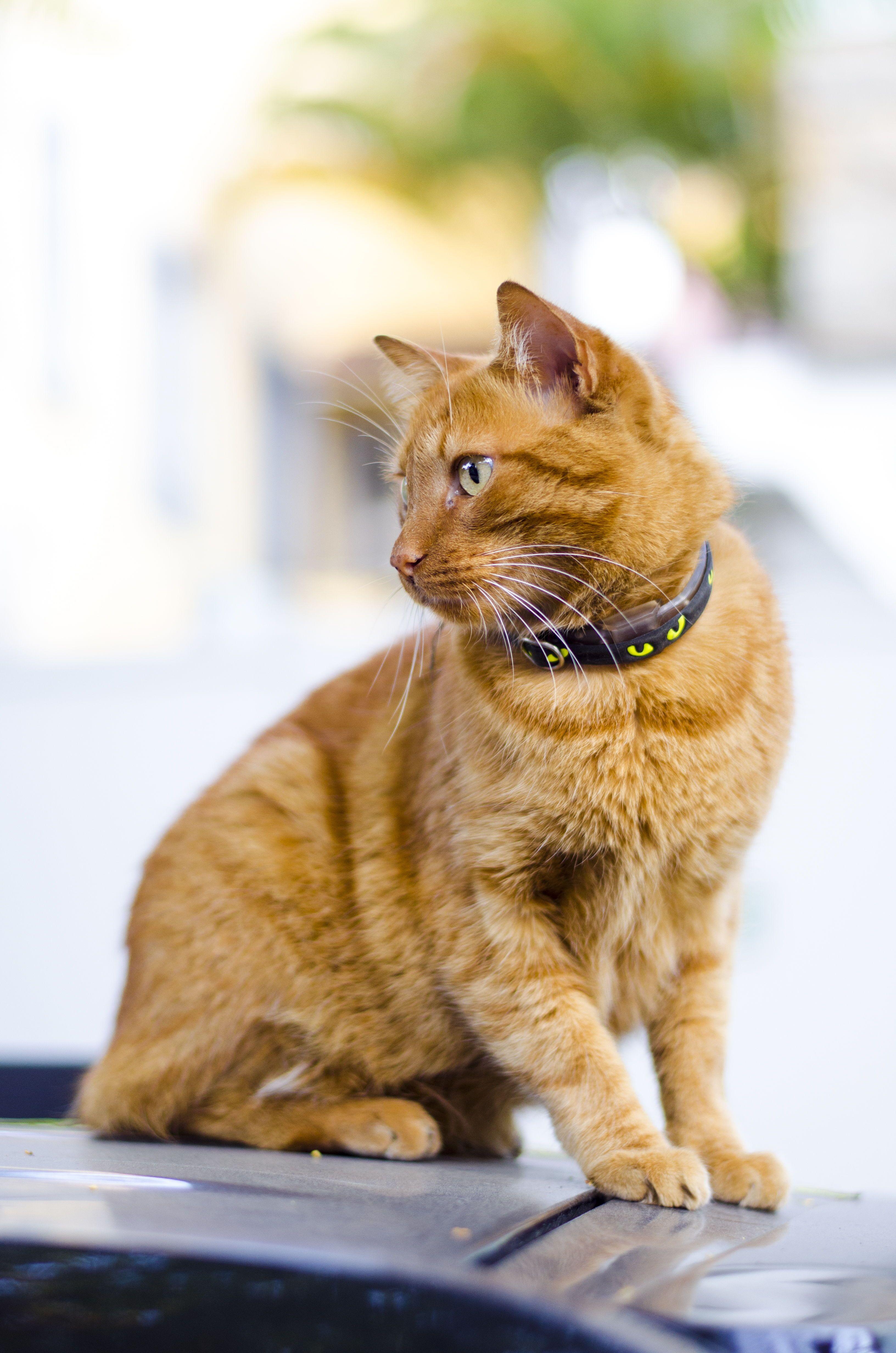 Orange Tabby Cat Wearing Black Collar In 2020 Cat Care Cat Has Fleas Cats