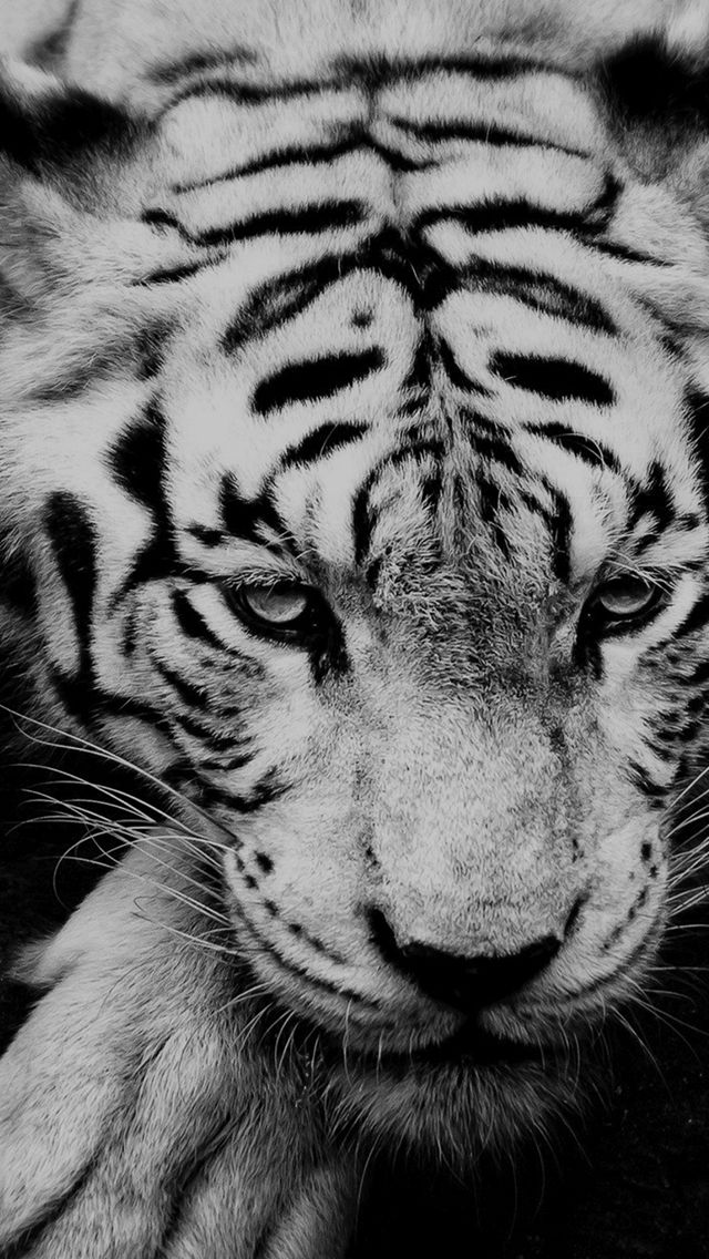Black And White Tiger Portrait Iphone 5s Wallpaper Wild Animal Wallpaper Animals Wild Pet Tiger