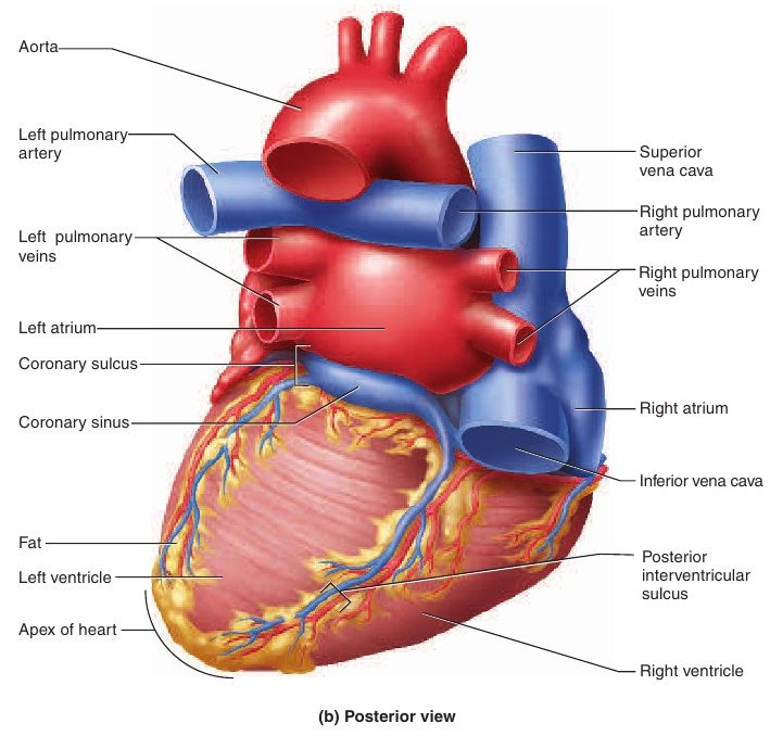 posterior heart artery | The Heart and Circulation | A&P | Pinterest ...