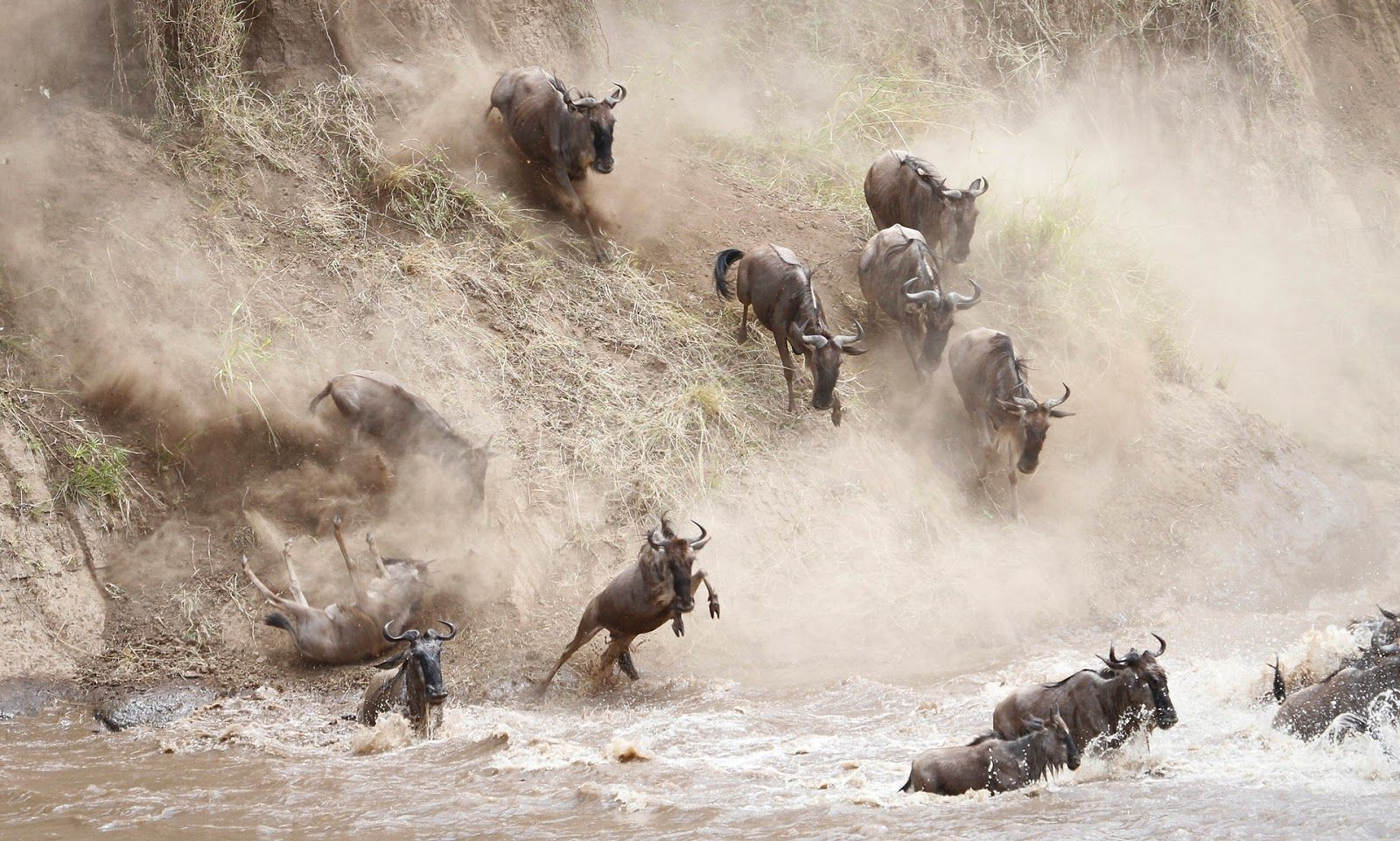 Wildebeest cross the Mara river during the great migration