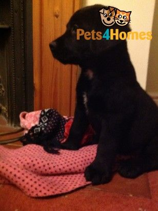 Labernese Puppies Ready Now Puppies Puppies For Sale Pets