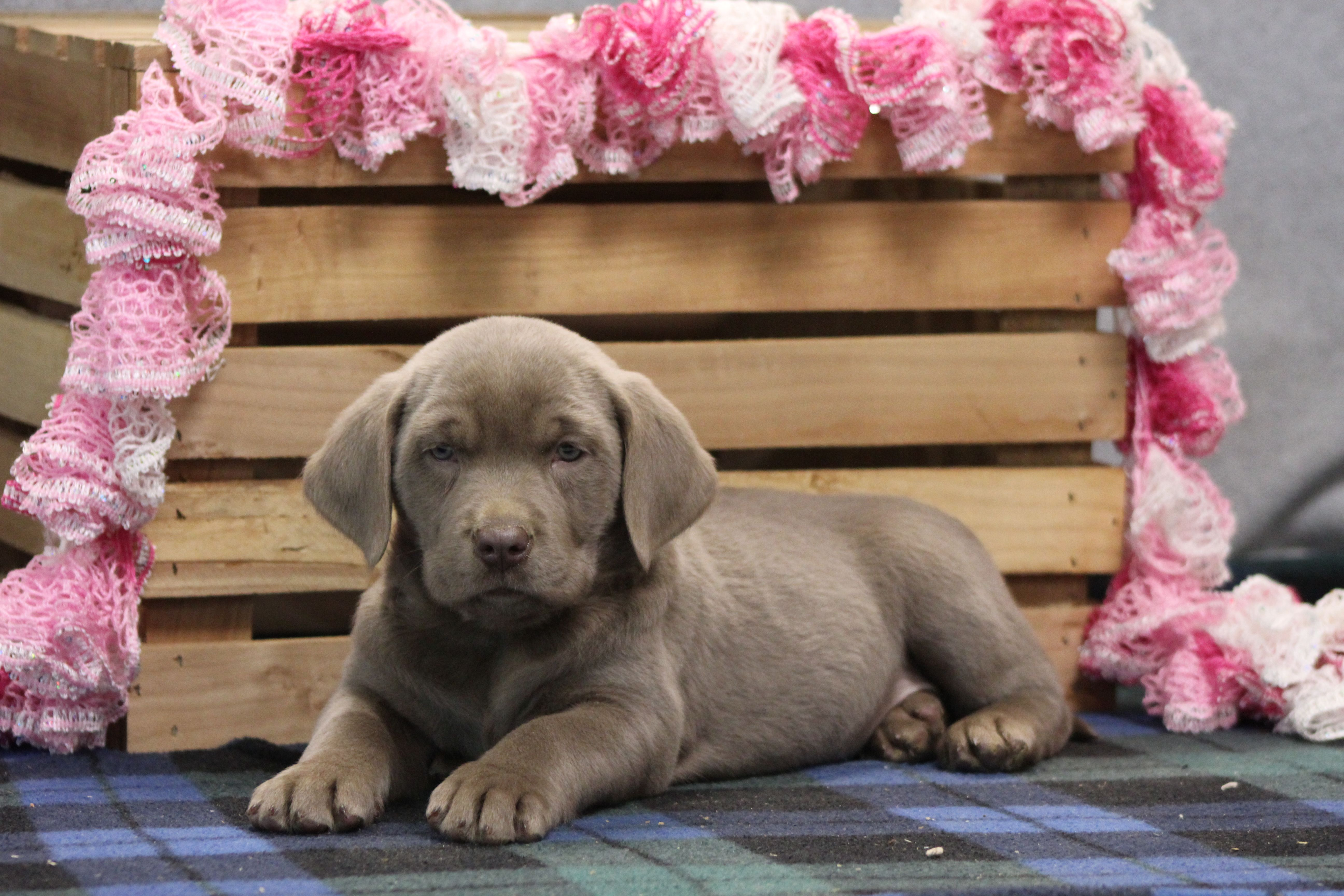 Mia Designer Breed Large Puppie For Sale At New Haven Indiana Vip Puppies In 2020 Puppy Finder Puppies Puppy Adoption