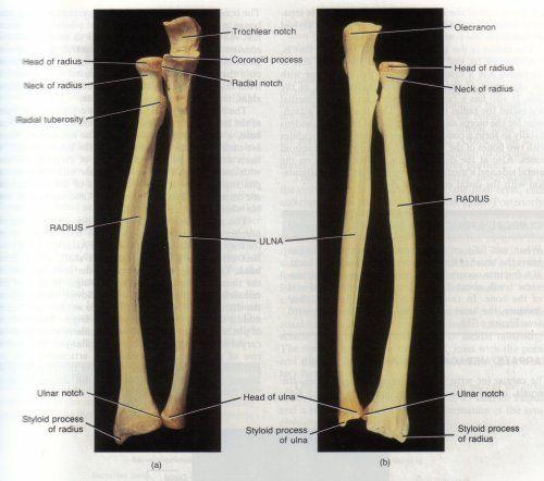 Ant 326 Human Osteology A Amp P Anatomy Anatomy