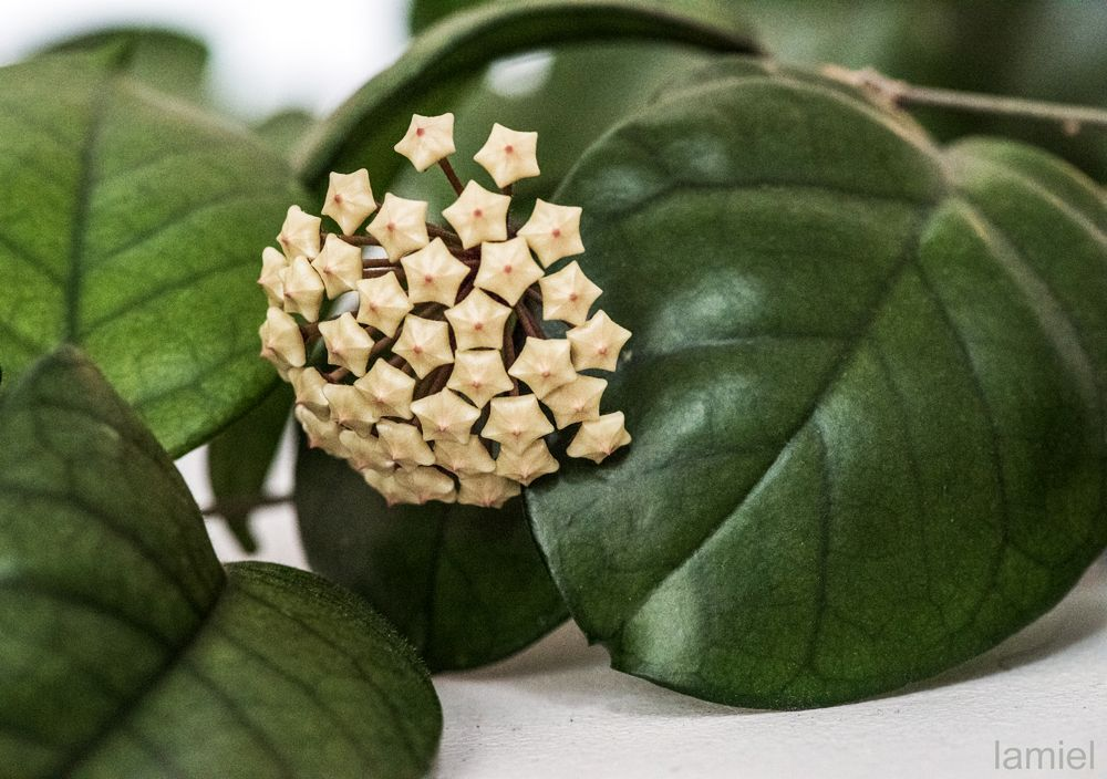 Hoya Fungii Even Before Opening The Buds Are Beautiful In 2020 Guava Tree Plant Leaves Hoya Plants