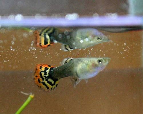 7 Cultured Animals That Share Knowledge In 2020 Animals Guppy Guppy Fish