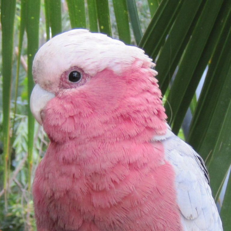 from Benson male and female pink cockatoos