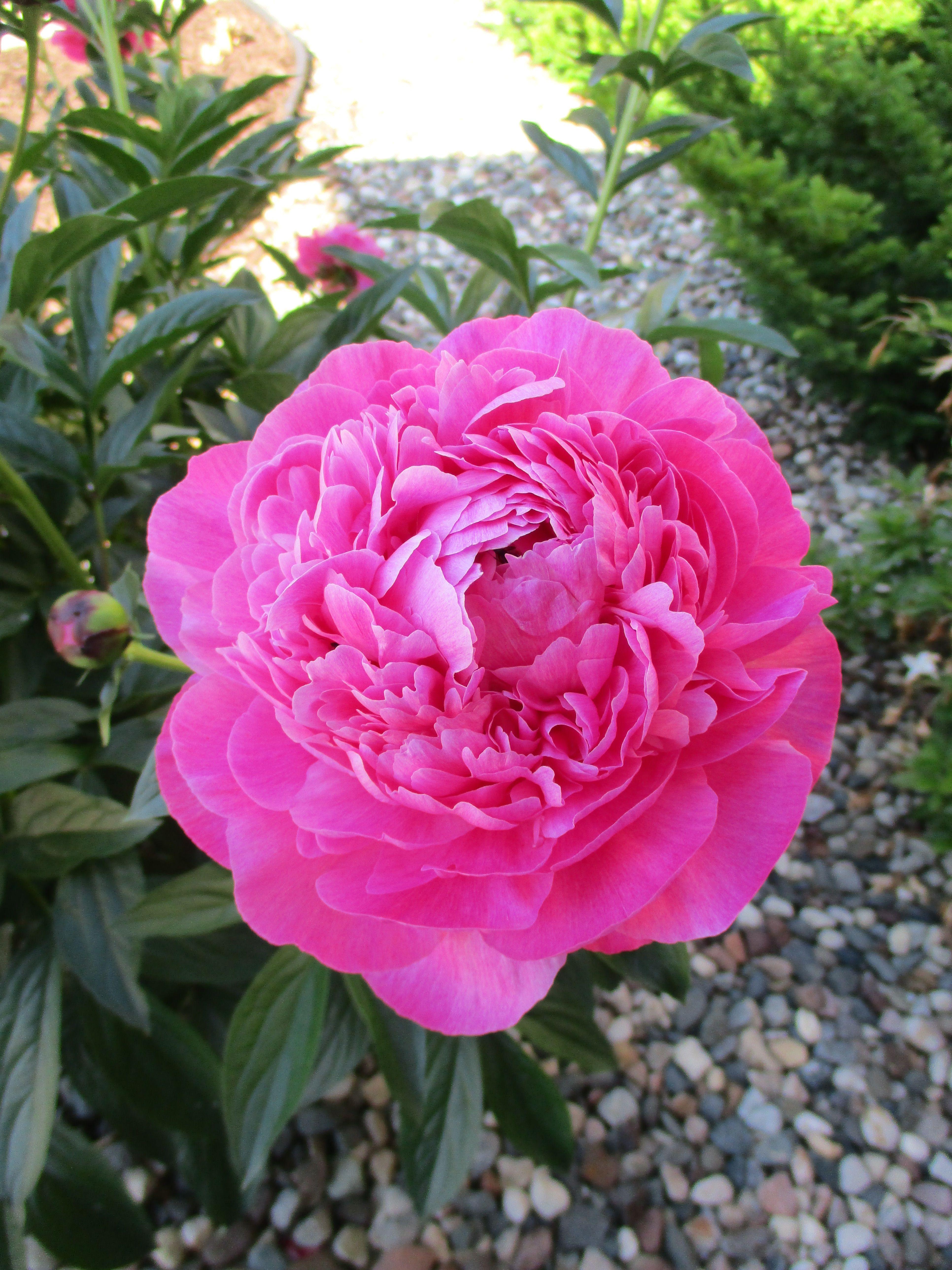 Pink peonie in our yard, June 2019 Flowers, Plants, Flora