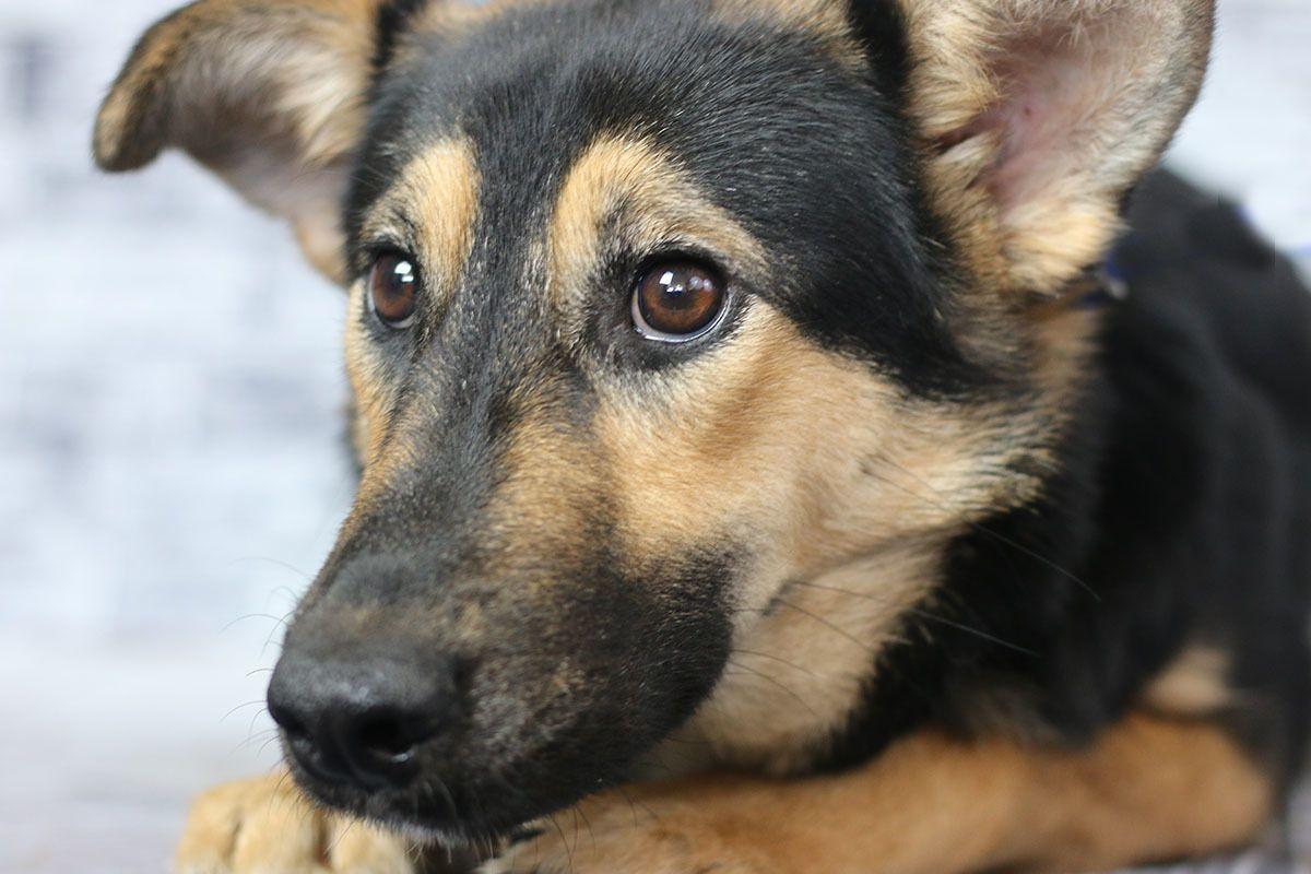 Adopt Callie on Petfinder Dog search, German shepherd