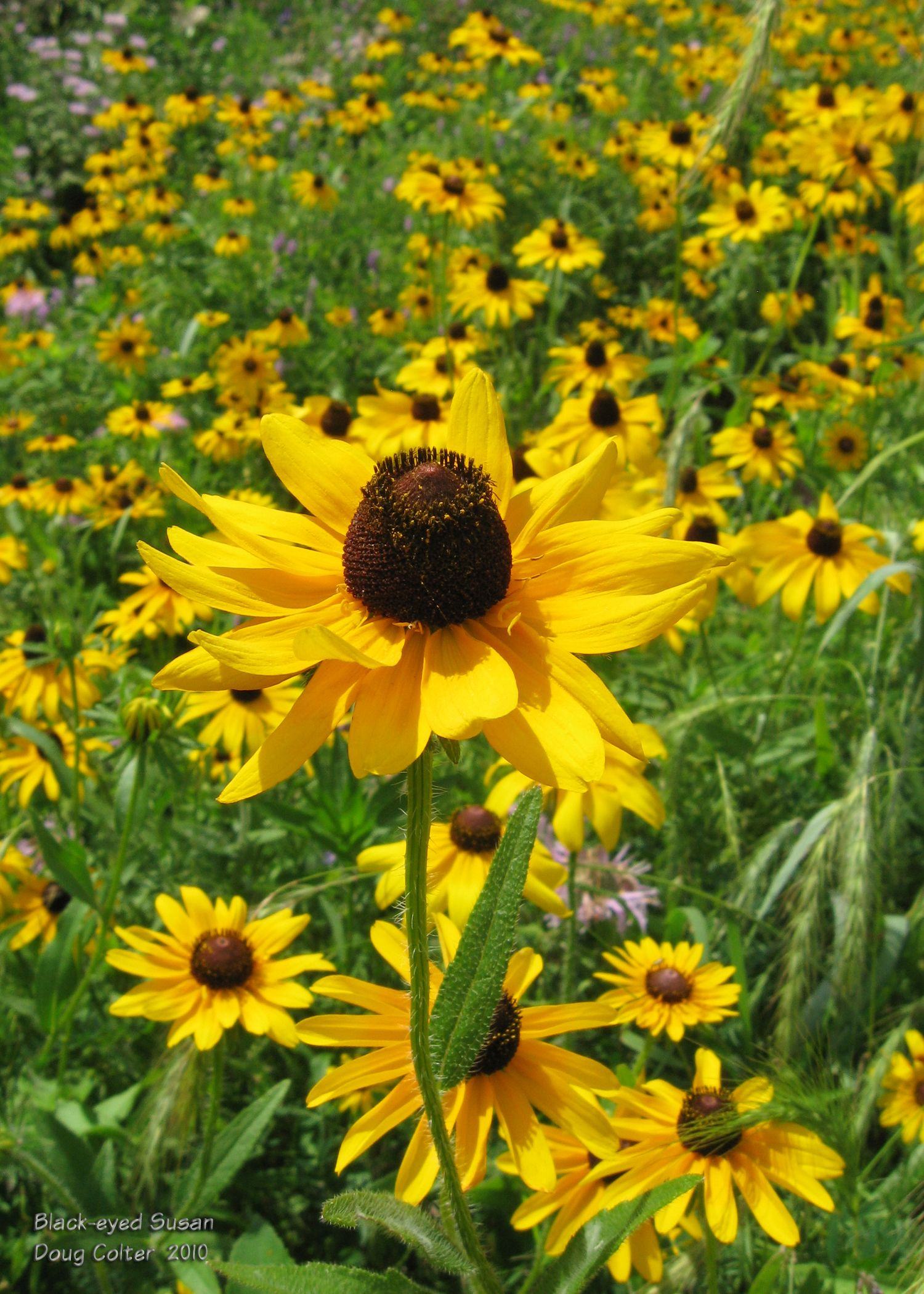 Black-eyed Susan (Rudbeckia hirta) •Family: Aster (Asteraceae)  •Habitat: fields, open woods, roadsides •Height: 1-3 feet •Flower size: 2-3 inches across •Flower color: yellow and dark brown •Flowering time: June to October  • Photo by Doug Colter