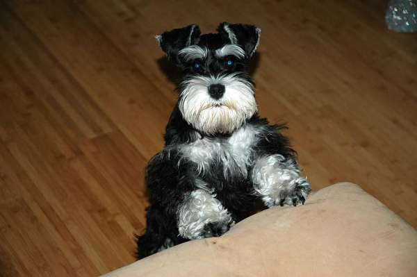 A Darling Little Black And Silver Mini Schnauzer I Just Love The Expression On His Face So Adorable Miniature Schnauzer Schnauzer Mini Schnauzer