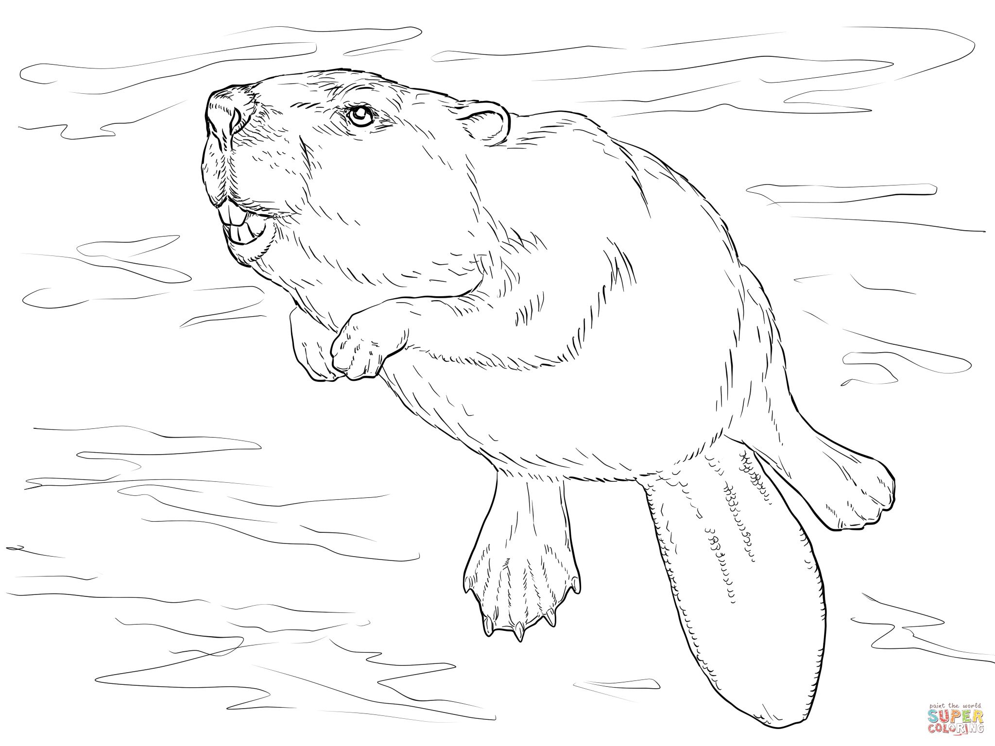 Swimming Beaver Coloring Page Supercoloring Com Beaver Drawing