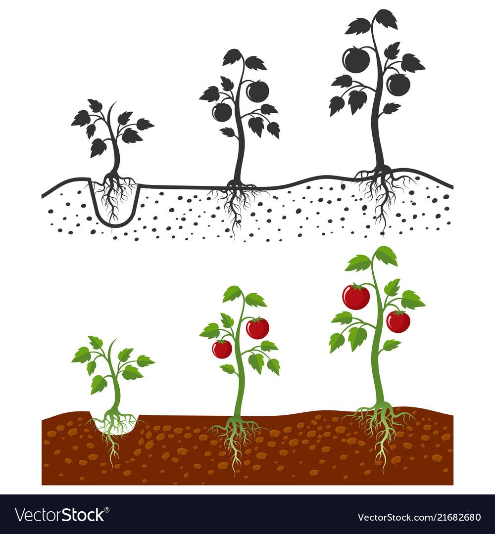 Tomato Plant With Roots Growing Stages Royalty Free Vector Roots Drawing Cartoon Styles Tomato Plants