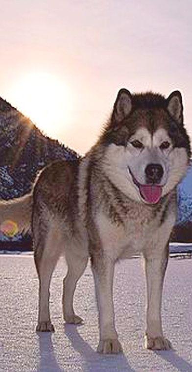 beautiful husky  NORWAY - Supphella, Sogn og Fjordane, Norwegen #dog #by storeknut