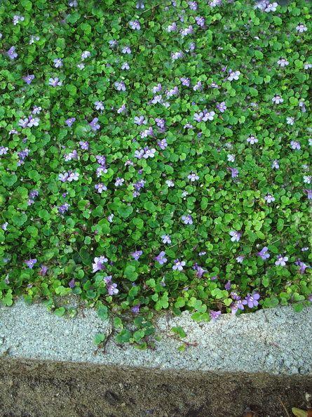 Ordinaire Patio Ground Cover Ideas: Cymbalaria Aequitrilobia, Mini Kenilworth Ivy