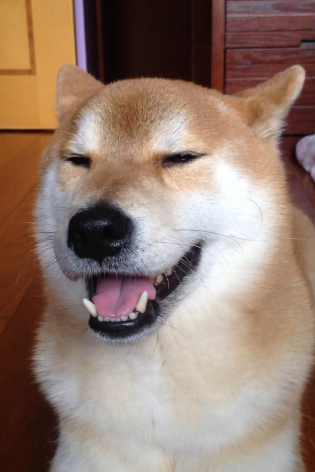 smilely sleepy shiba