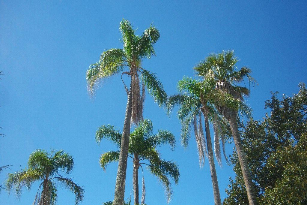 Palmiers de la reine ou syagrus romanzoffiana dans un jardin au portugal photo de palmier de - Racine d un palmier ...