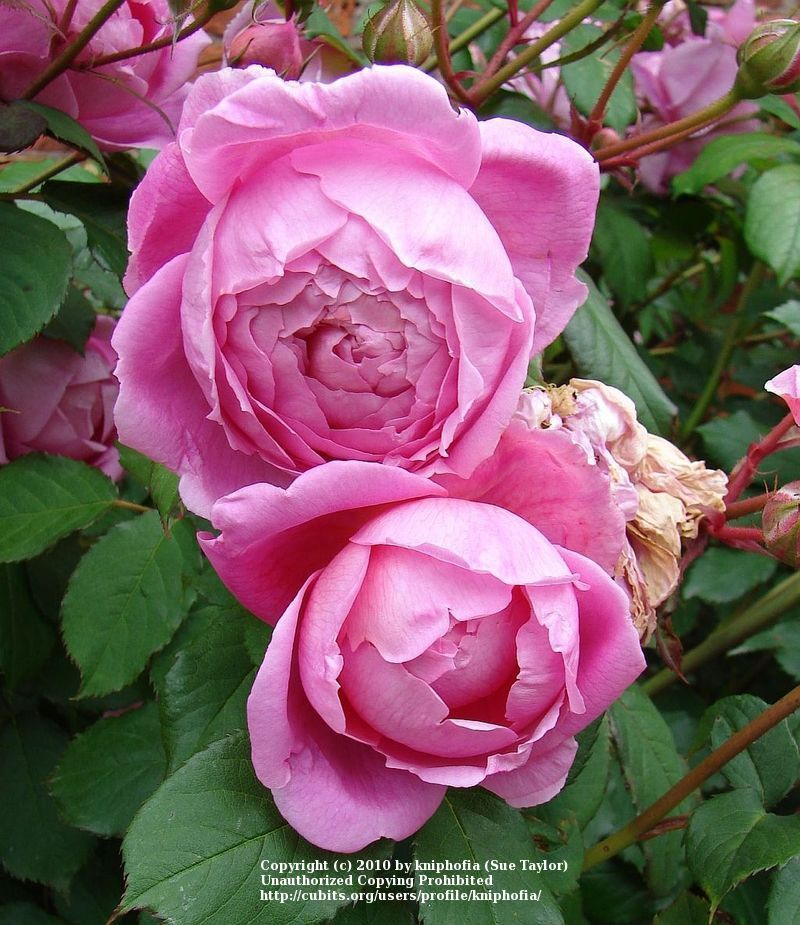 An Explanation of Rose Shapes and Types Rose, Types of