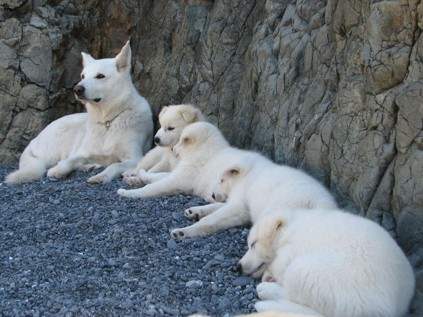 Wolf Hybrid Pups Sire Is White Arctic Wolf Mixed With White