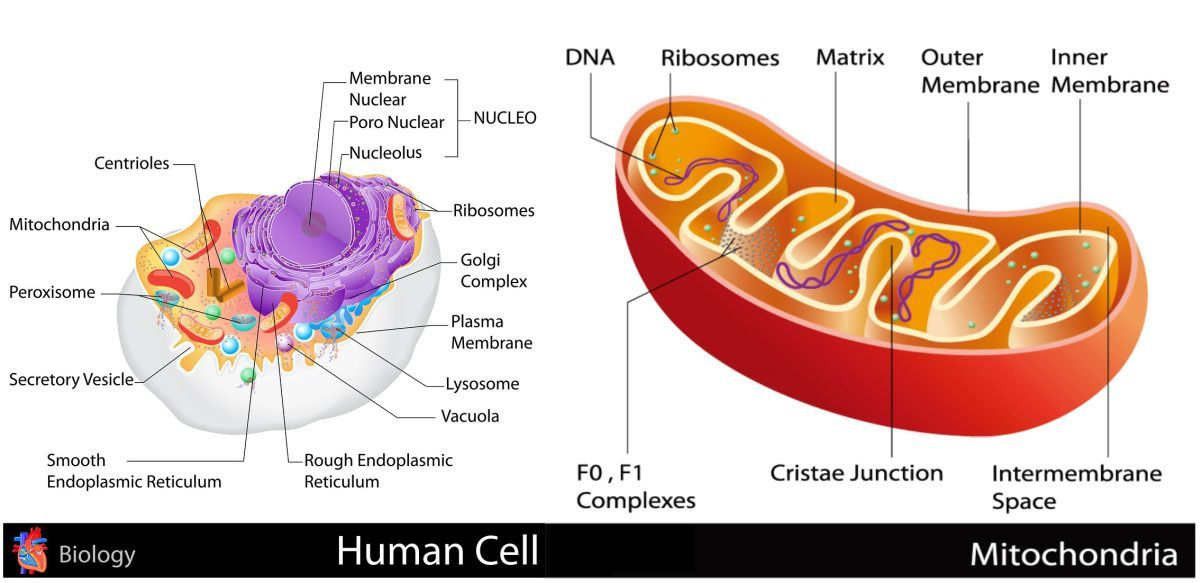 Mitochondria Is The Powerhouse Of The Cell | Mitochondria ...