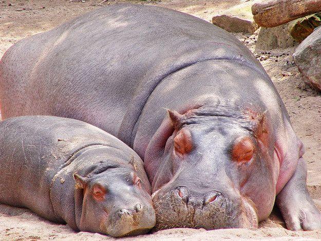 """Esta dupla de hipopótamos tirando uma soneca:   30 fotos que farão você dizer """"Awww"""""""