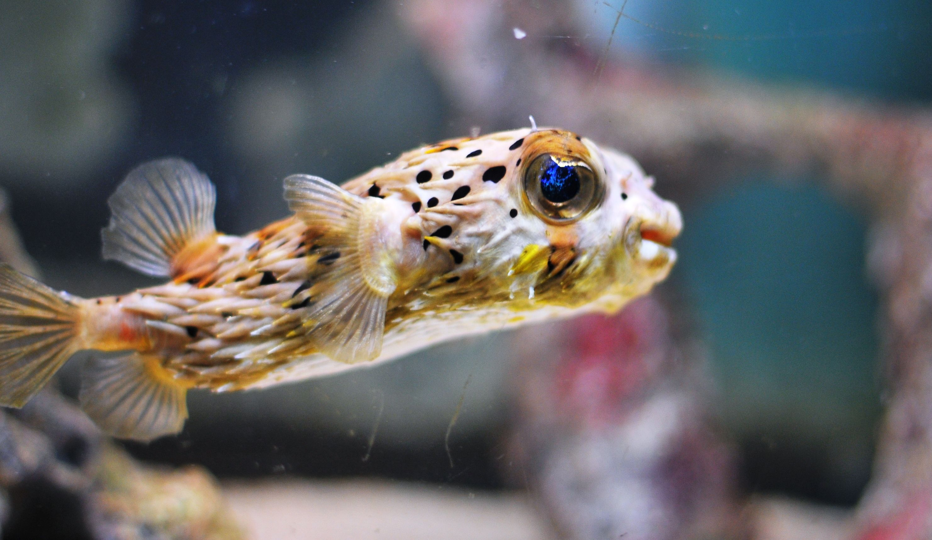 Porcupine puffer fish porcupine puffer fish a little for A puffer fish
