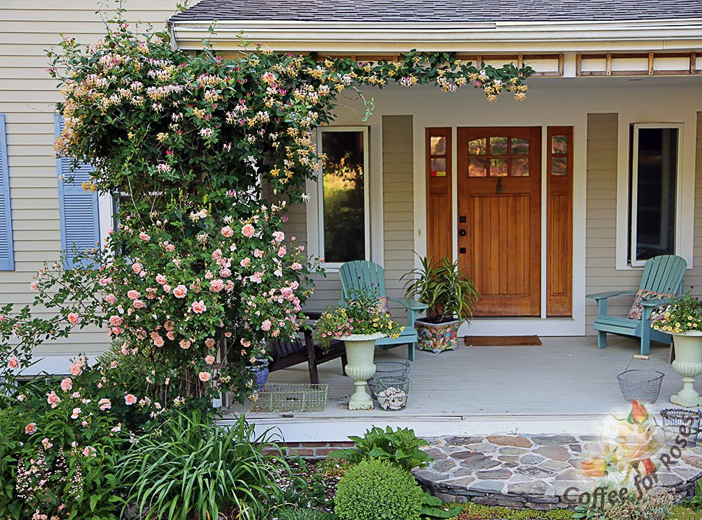 Colette Climbing Rose And Lonicera Periclymenum Belgica