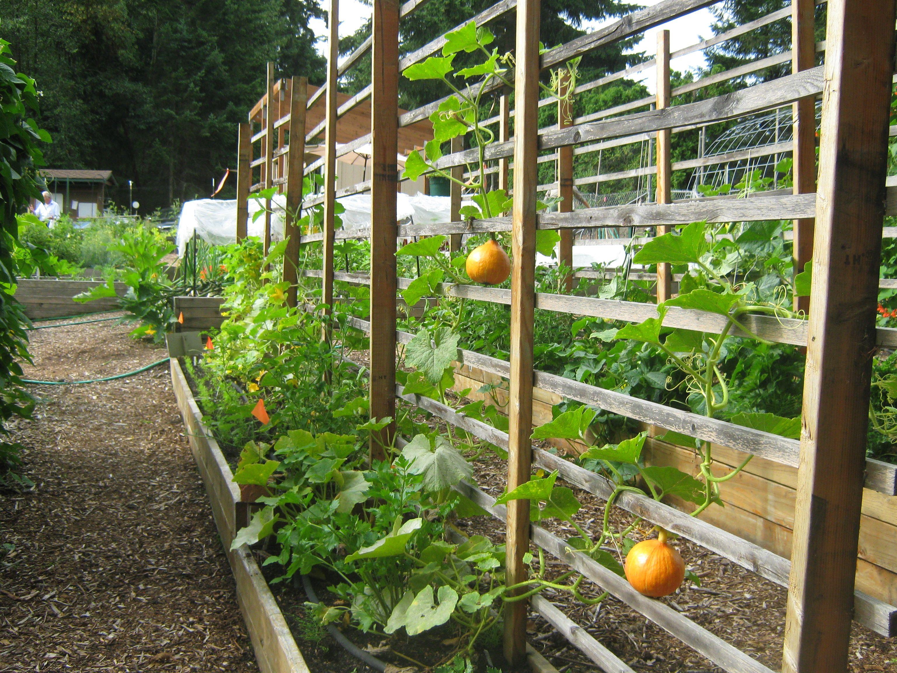 Mukilteo Community Garden-WA | Grape trellis, Pea trellis and ...