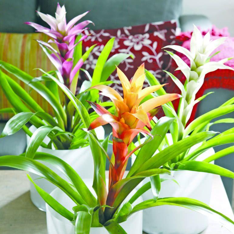 Guzmania Uprawa Pielegnacja Wymagania Zielony Ogrodek Plants