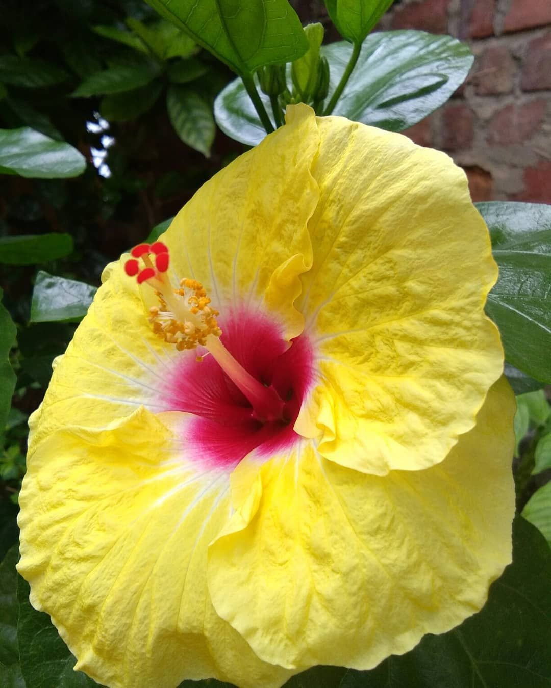 Hibiscus Bright Yellow With Red Center Hibiscusflower Yellowhibiscus Naturephotography Naturelovers In 2020 Yellow Hibiscus Hibiscus Flowers Hibiscus