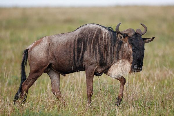 A male wildebeest walks in the grasslands of the Masai Mara National Reserve, Kenya.