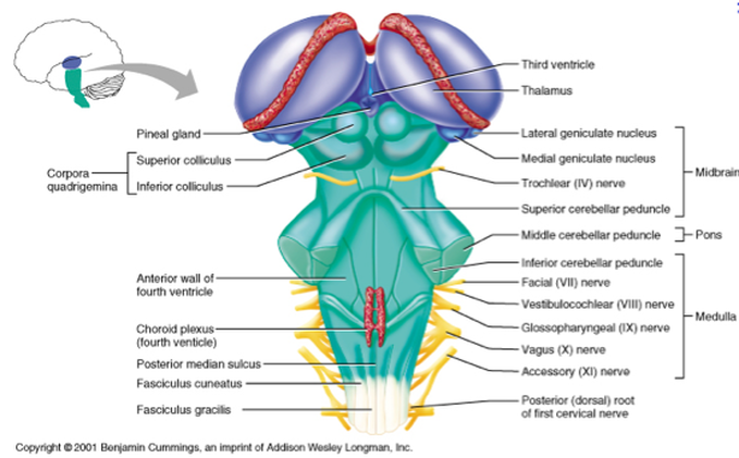 Brain Stem Diagram Website Link Is To Cranial Nerves And What Part