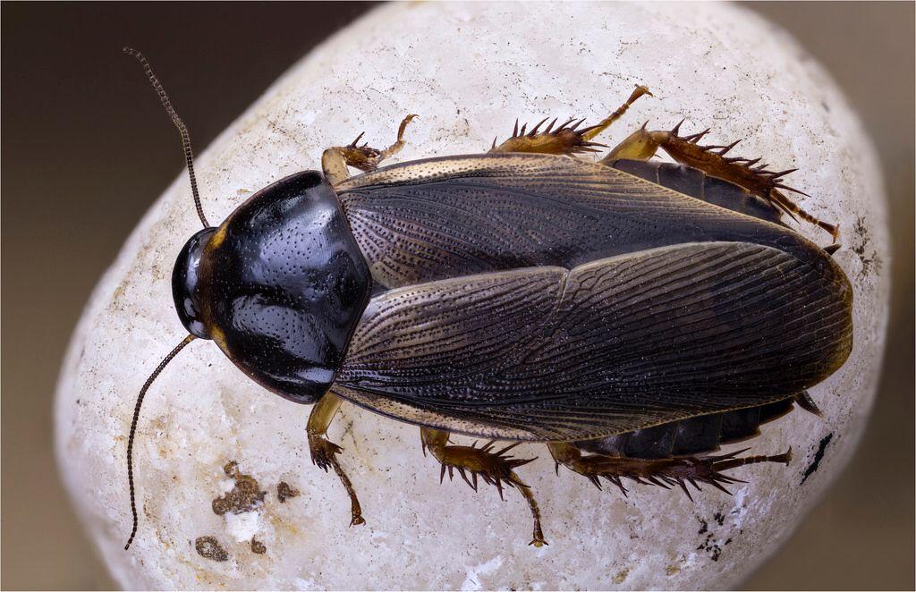 Pycnoscelus surinamensis, Blattidae, Dictyoptera