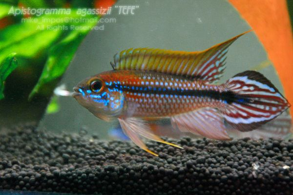 Apistogramma Bitaeniata Tefe | ... Apistogramma Tefe but it is difficult to find really true Apistogramma